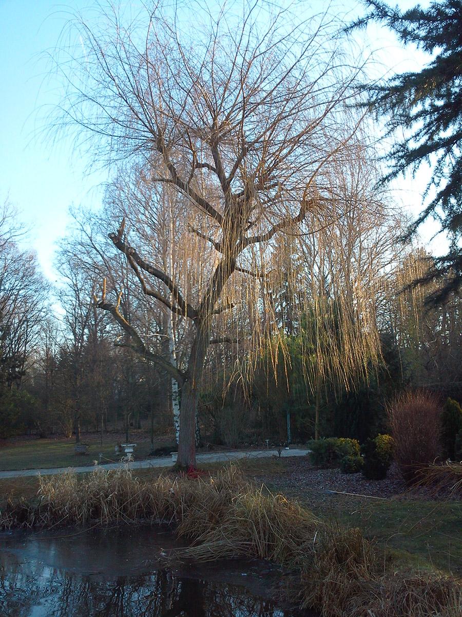 Taille dun saule avant rc parc et jardin dans les yvelines for Jardin yvelines